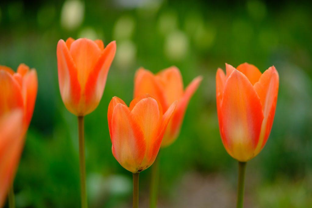 Tulpen Weihenstephaner Garten
