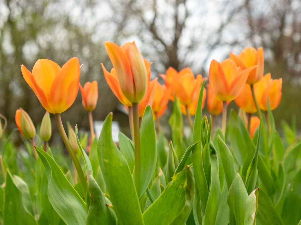 Tulpen, Weihenstephaner Garten