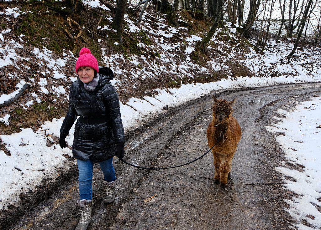Alpakawanderung in der Hallertau