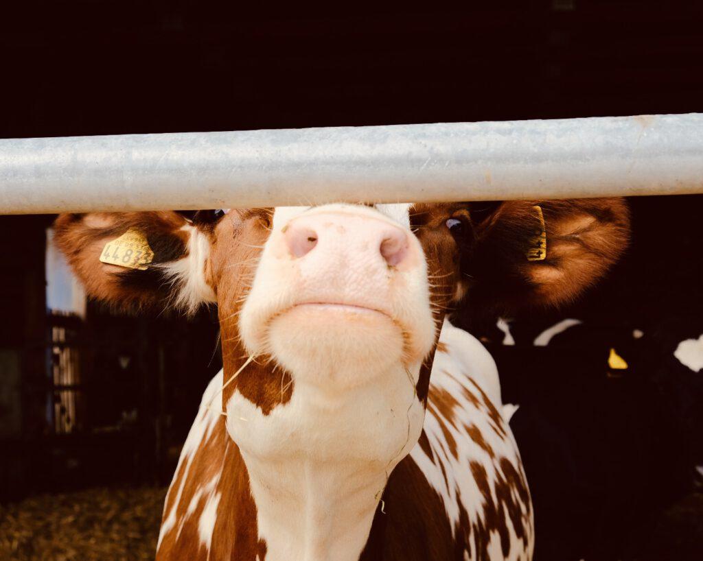 Kühe in Kleinbachern